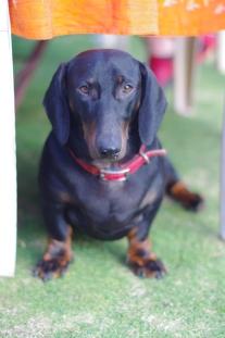 Max the Dachshund