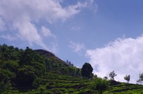 Blue skies and tea plants